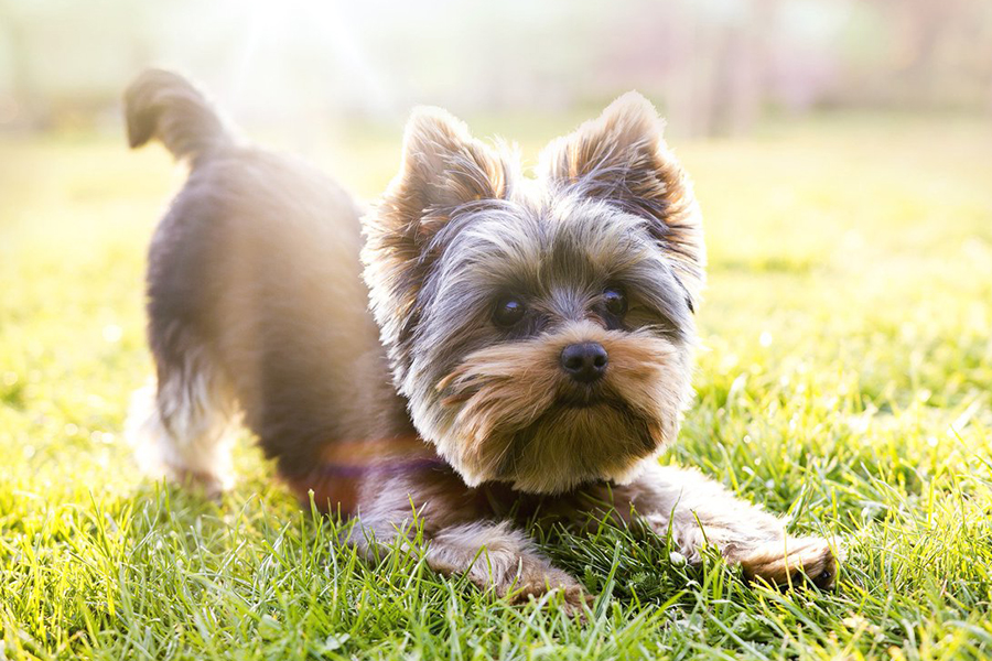 44 Best Dog Breeds for Apartment Living - Yorkshire Terrier