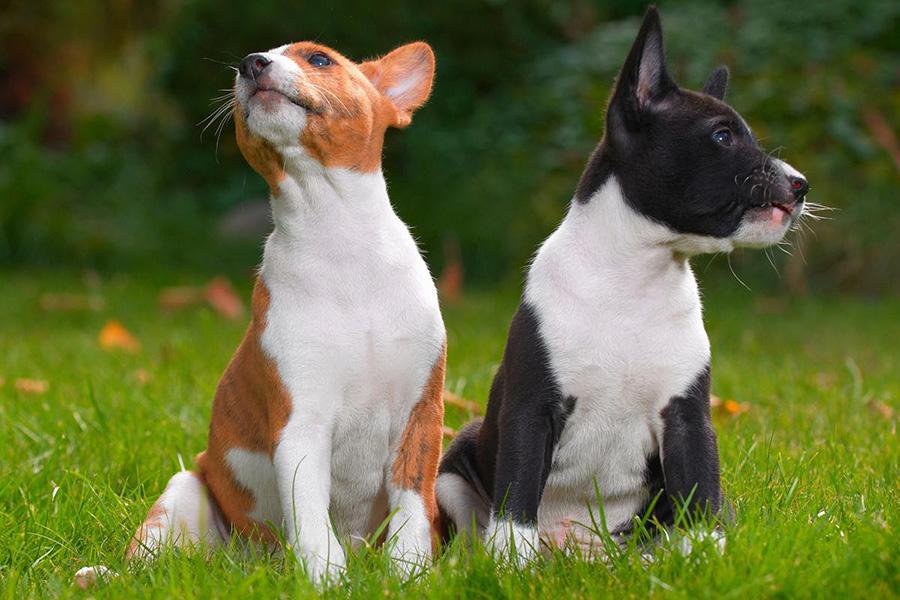 44 лучших породы собак для квартирной жизни - басенджи