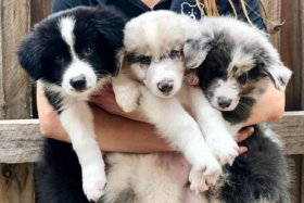 Three puppies in a woman's embrace