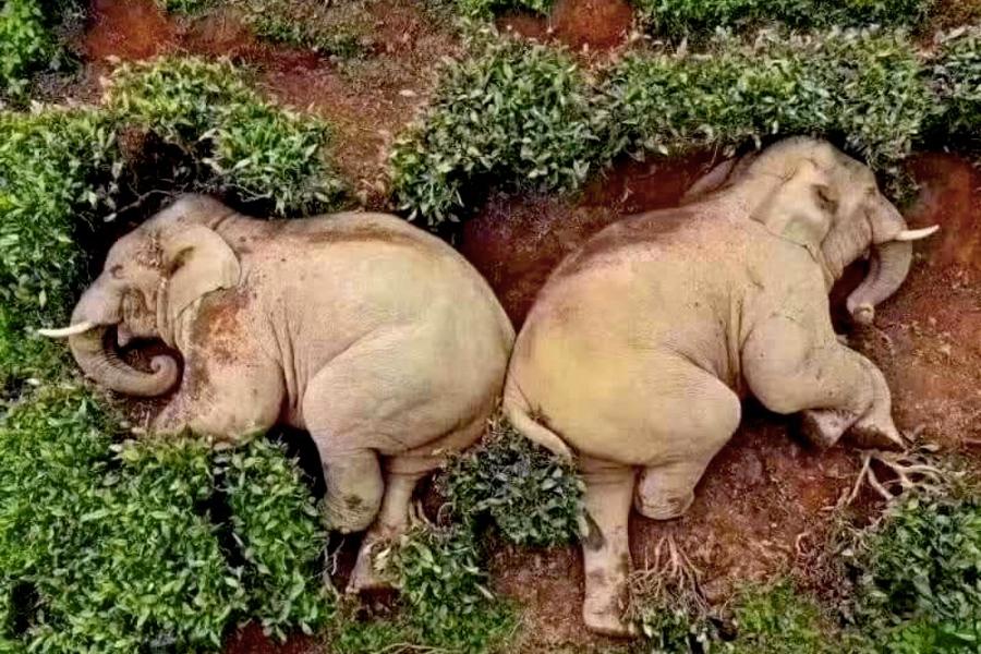 drunk elephants