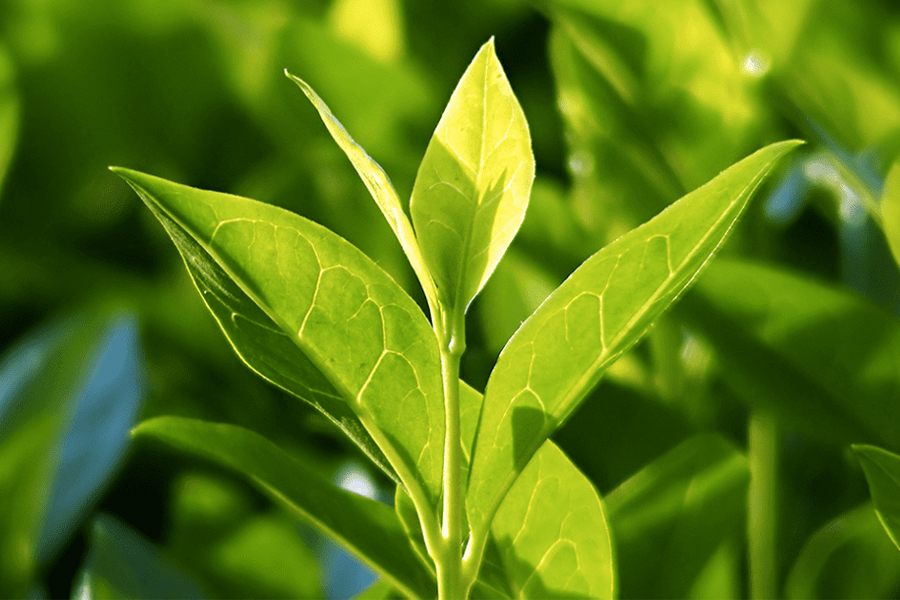 Health Benefits of Green Tea - Camellia sinensis plant