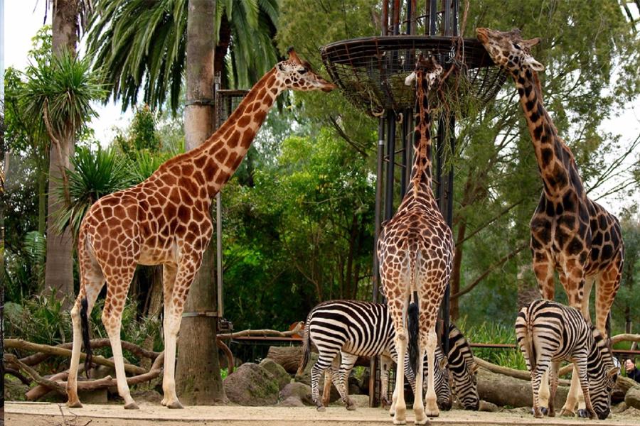 Melbourne Zoo giraffes