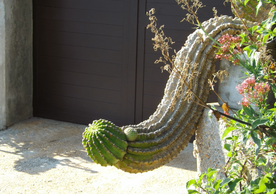 plants that look like a penis