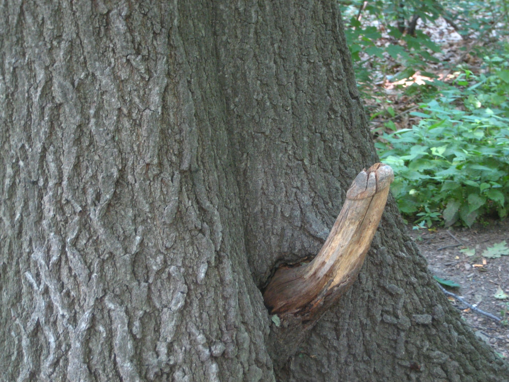 Tree that looks like a dick