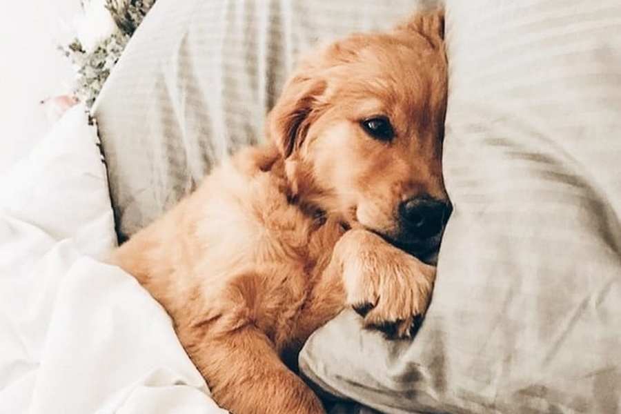 A puppy in bed
