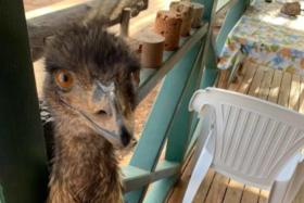 Closeup of an emu's face at Yaraka Hotel