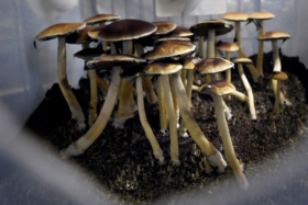 Canadian patients allowed to use psychedelic mushrooms