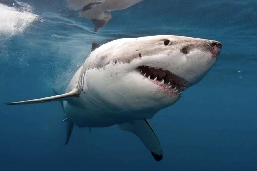 Surfer Great White Shark 3