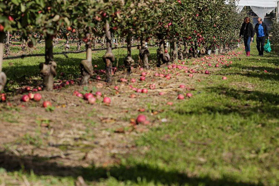 Bilpin Fruit Bowl Apples and Peaches Best Family Fruit Picking Sydney