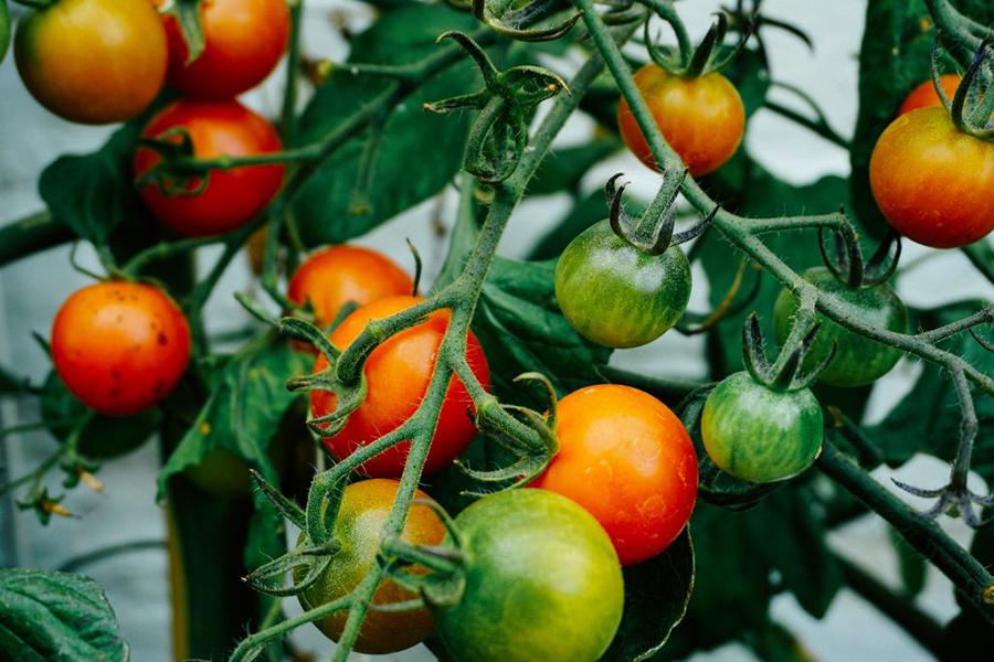Canoelands Orchard Tomatoes Best Family Fruit Picking Sydney