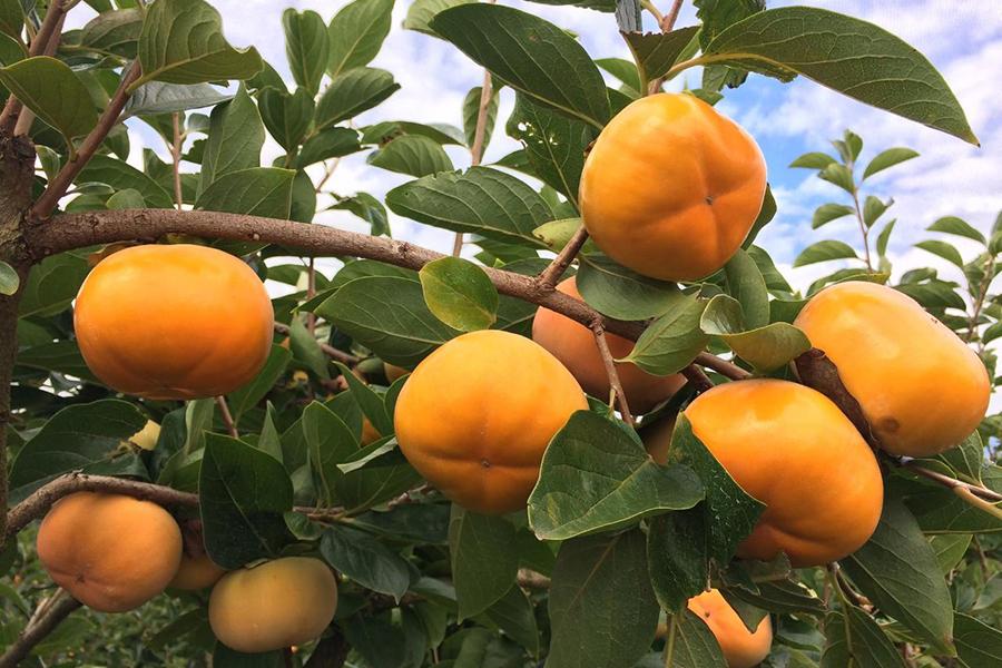 Cedar Creek Orchard Persimmons Best Family Fruit Picking Sydney