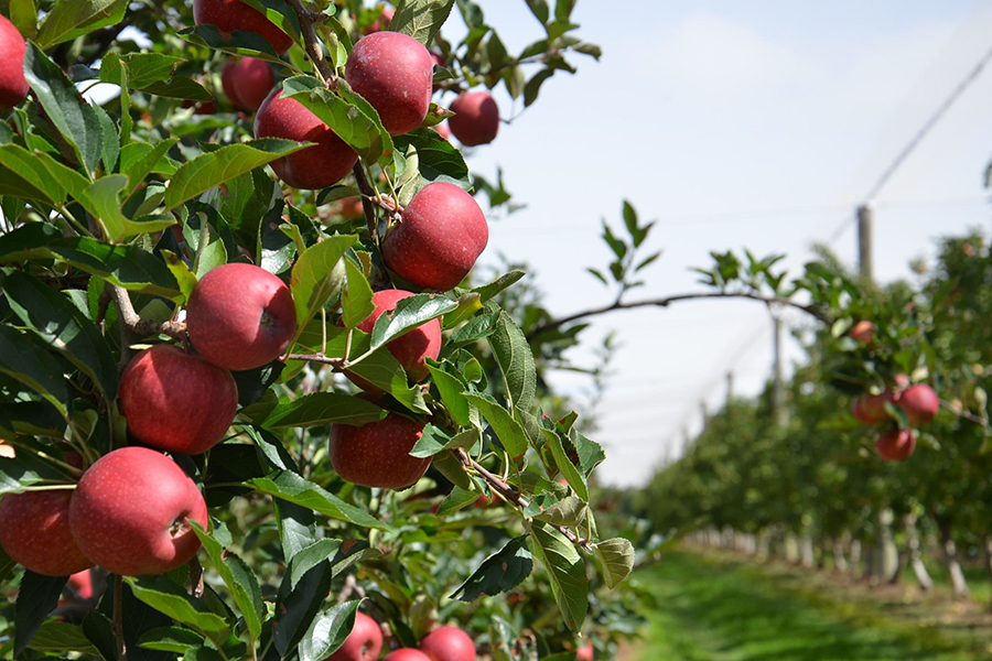Glenbernie Orchard Apples and Peaches Best Family Fruit Picking Sydney