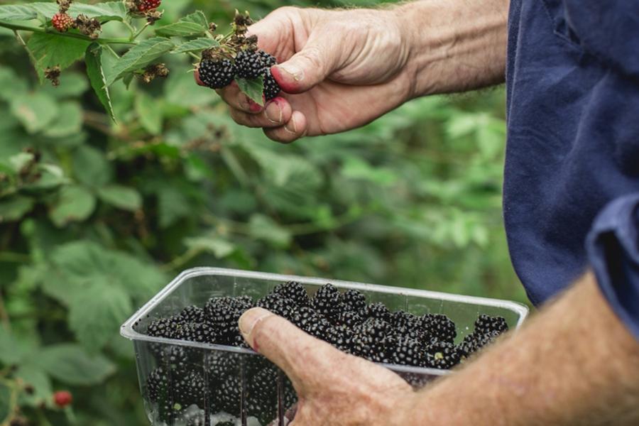 Montrose Berry Farm Best Family Fruit Picking Sydney