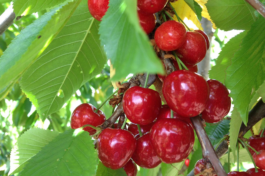 Stockmans Ridge Best Family Fruit Picking Sydney