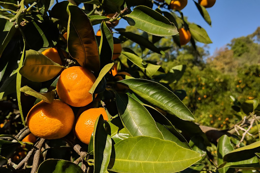 Watkins Family Farm Mandarins Best Family Fruit Picking Sydney