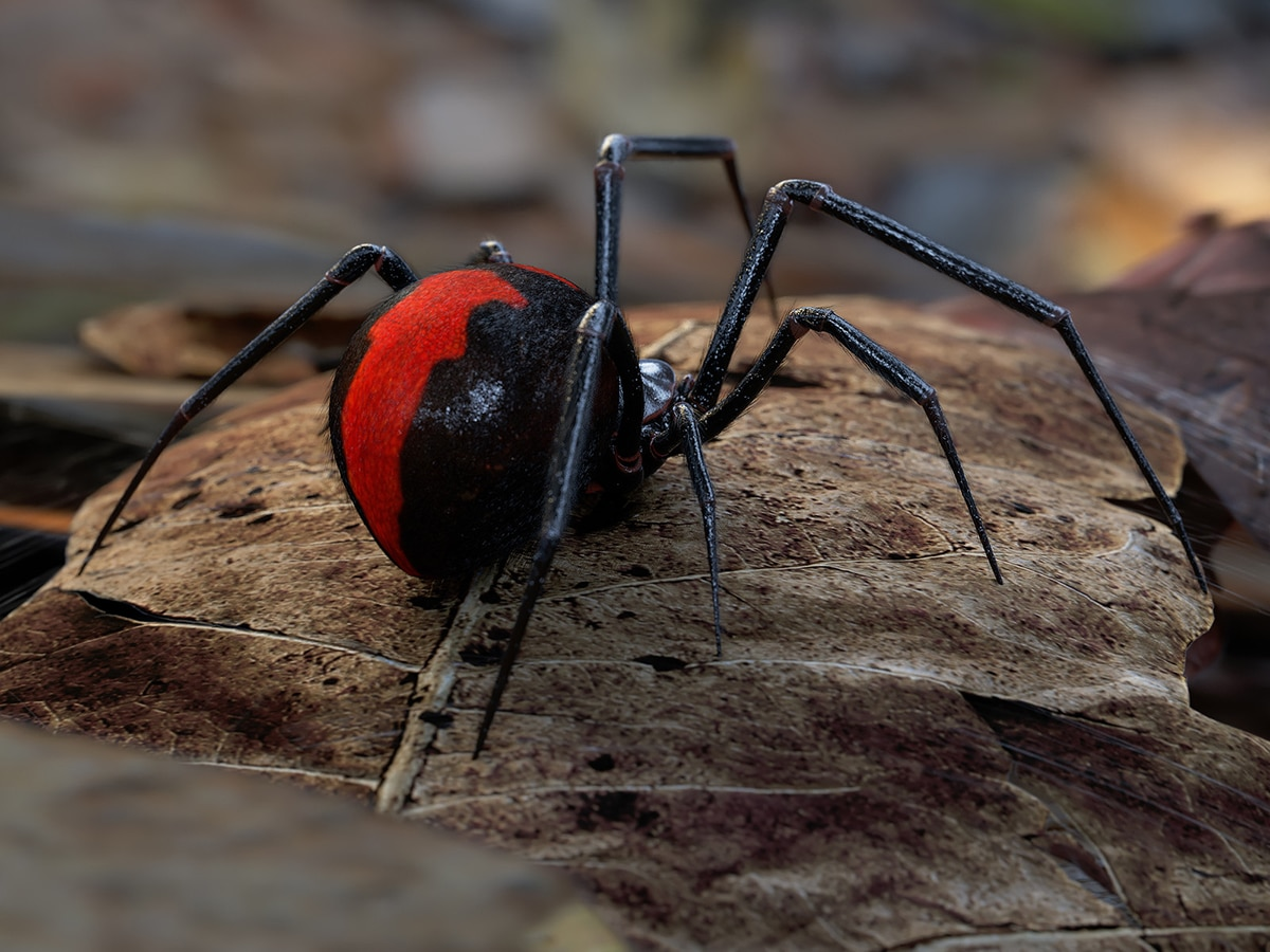 10 most deadly spiders in australia