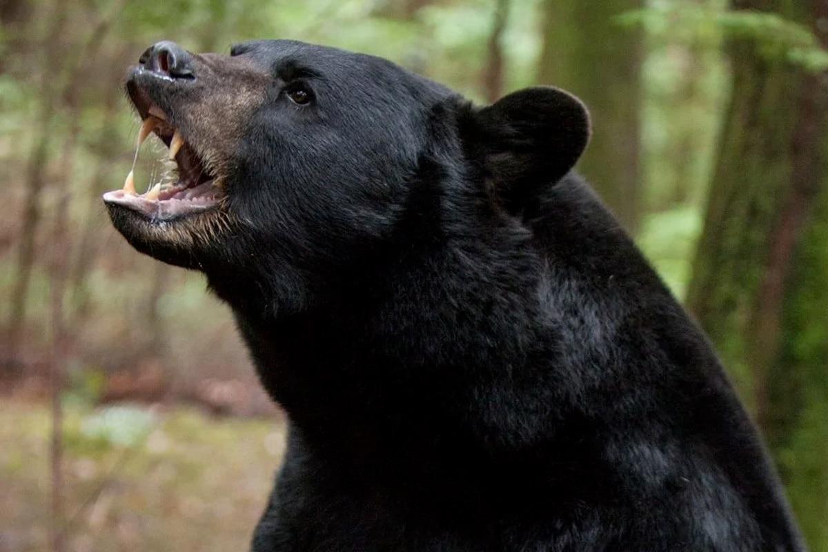Cocaine Bear 2