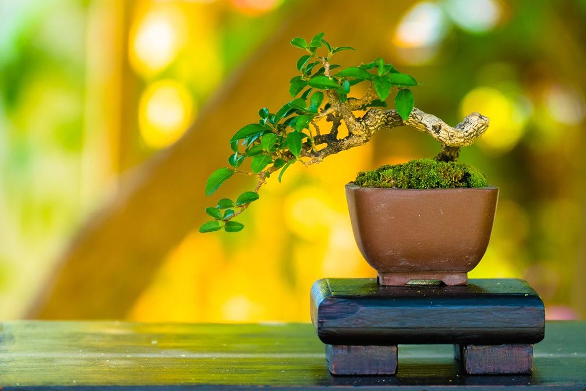 bonsai south nursery