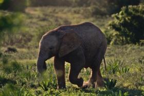 Smol elephant