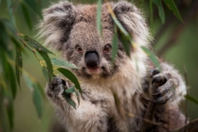 Koalas feel good friday
