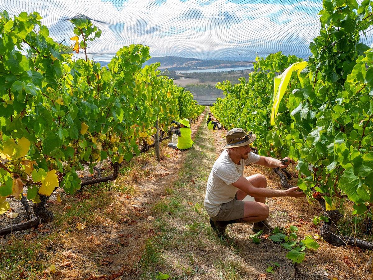 people working in criagow vineyard